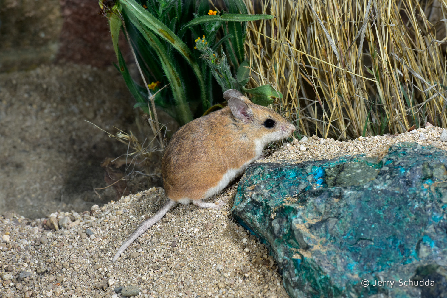 Northern Grasshopper Mouse