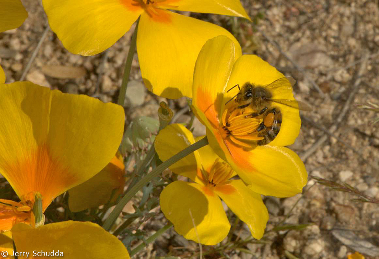 Honey Bee on Mexican Gold Poppy