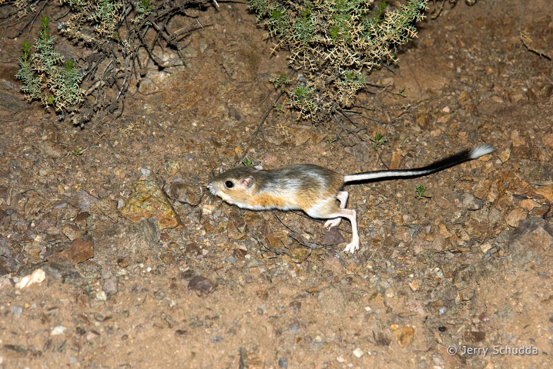 Banner-tailed Kangaroo Rat 3