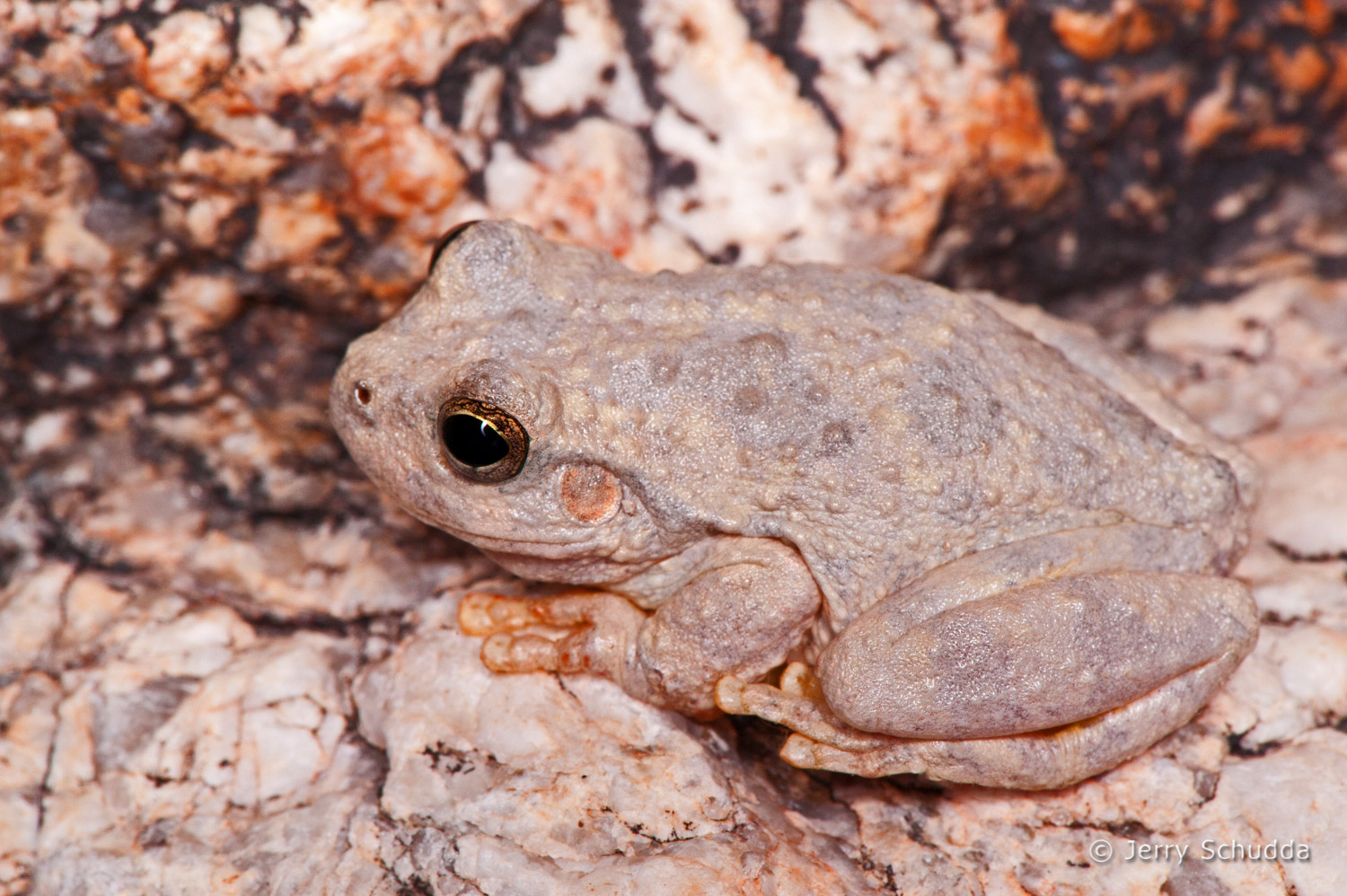 Canyon Tree Frog 2