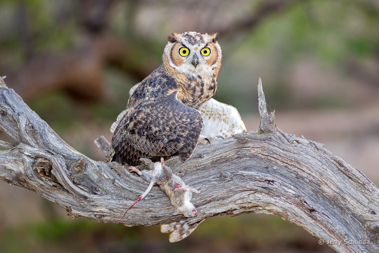 Great Horned Owl 8