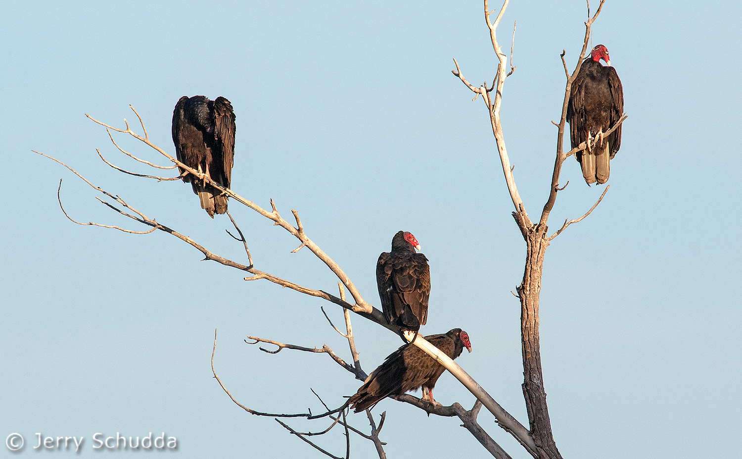 Turkey Vultures 5