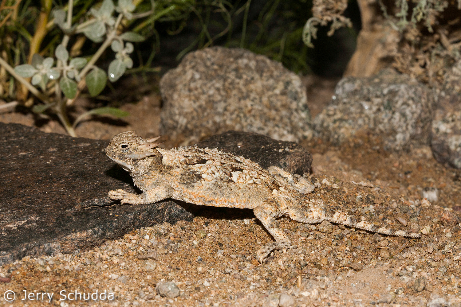 Desert Horned Lizard 1