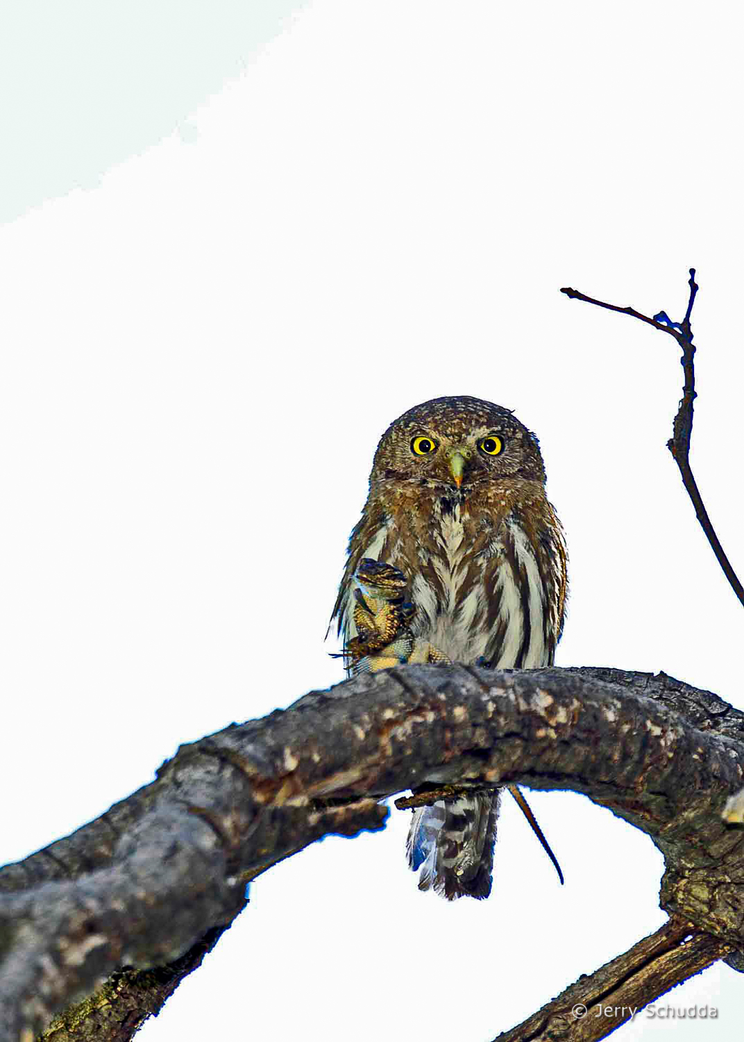 Northern Pygmy Owl with Spiny Lizard 3