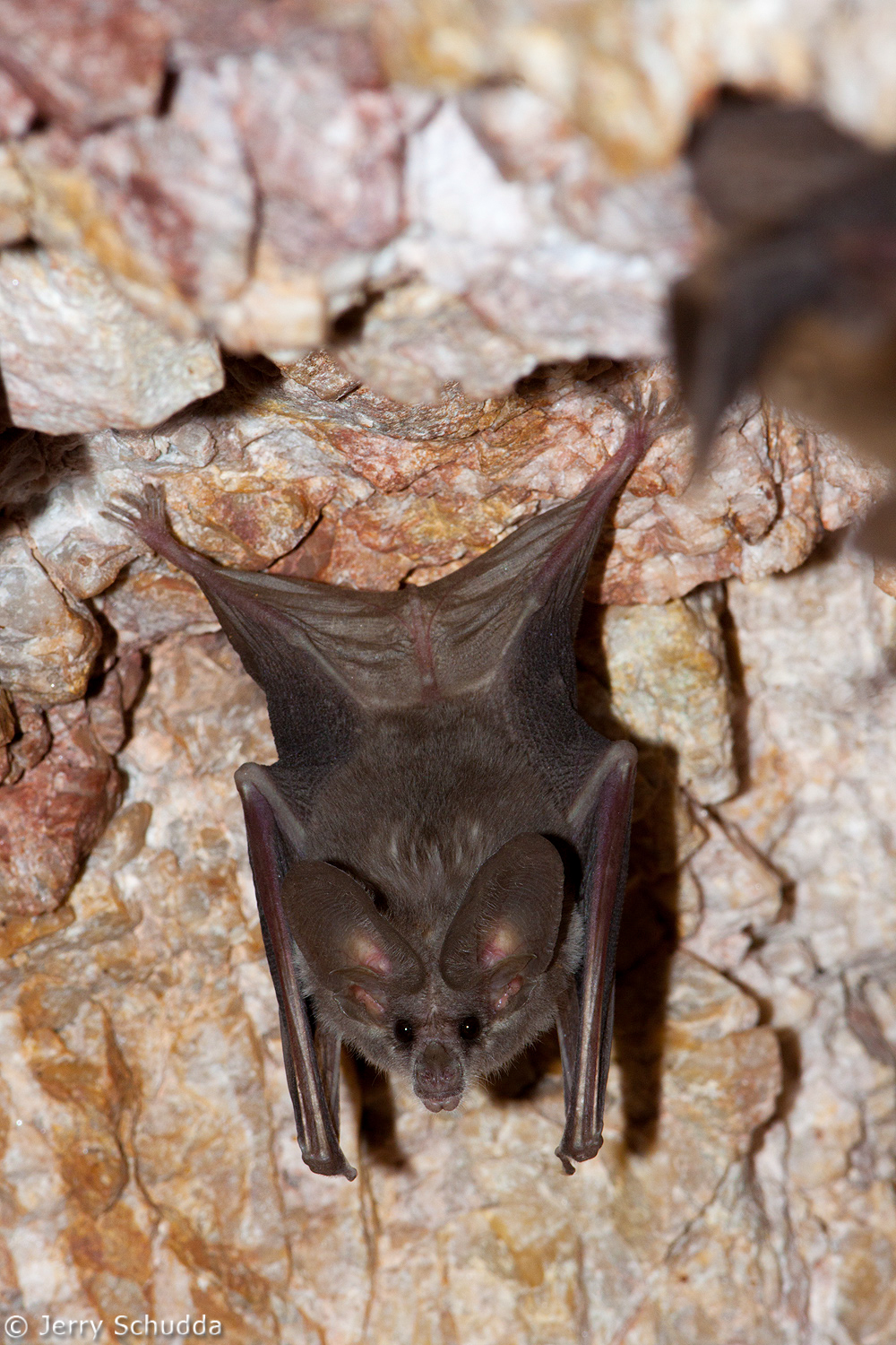 California Leaf-nosed Bat 1