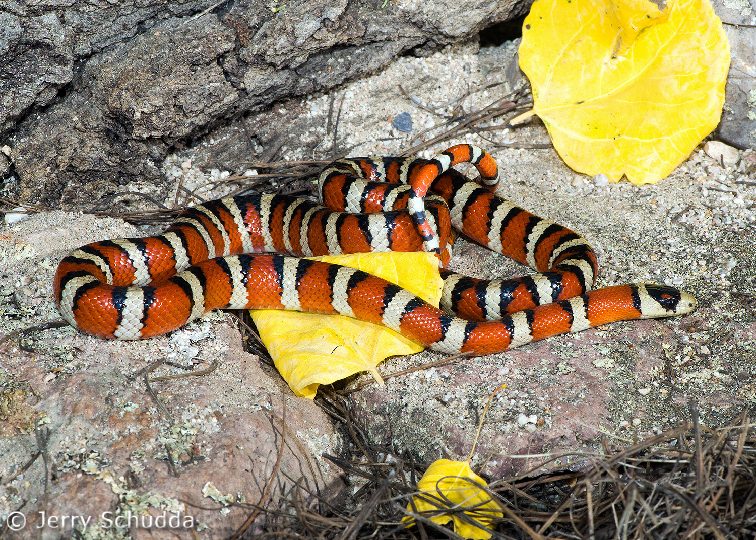 Sonoran Mountain Kingsnake 3