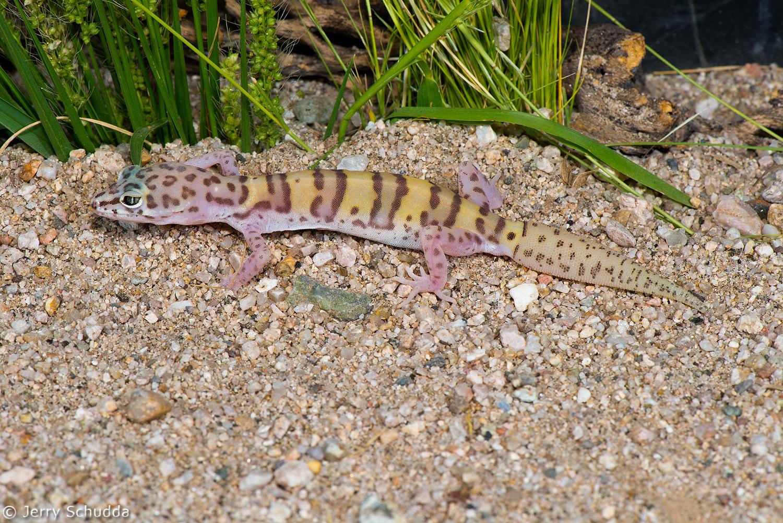Western Banded Gecko 1