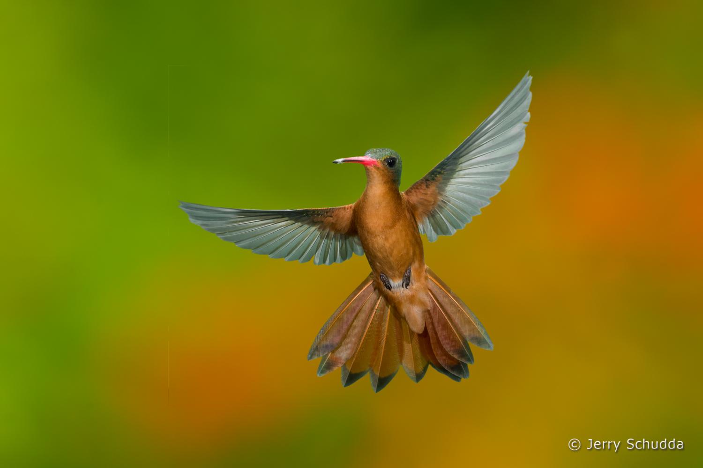 Cinnamon Hummingbird 7
