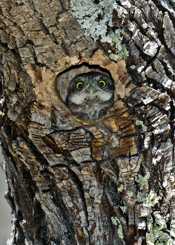 Northern Pygmy Owl 4