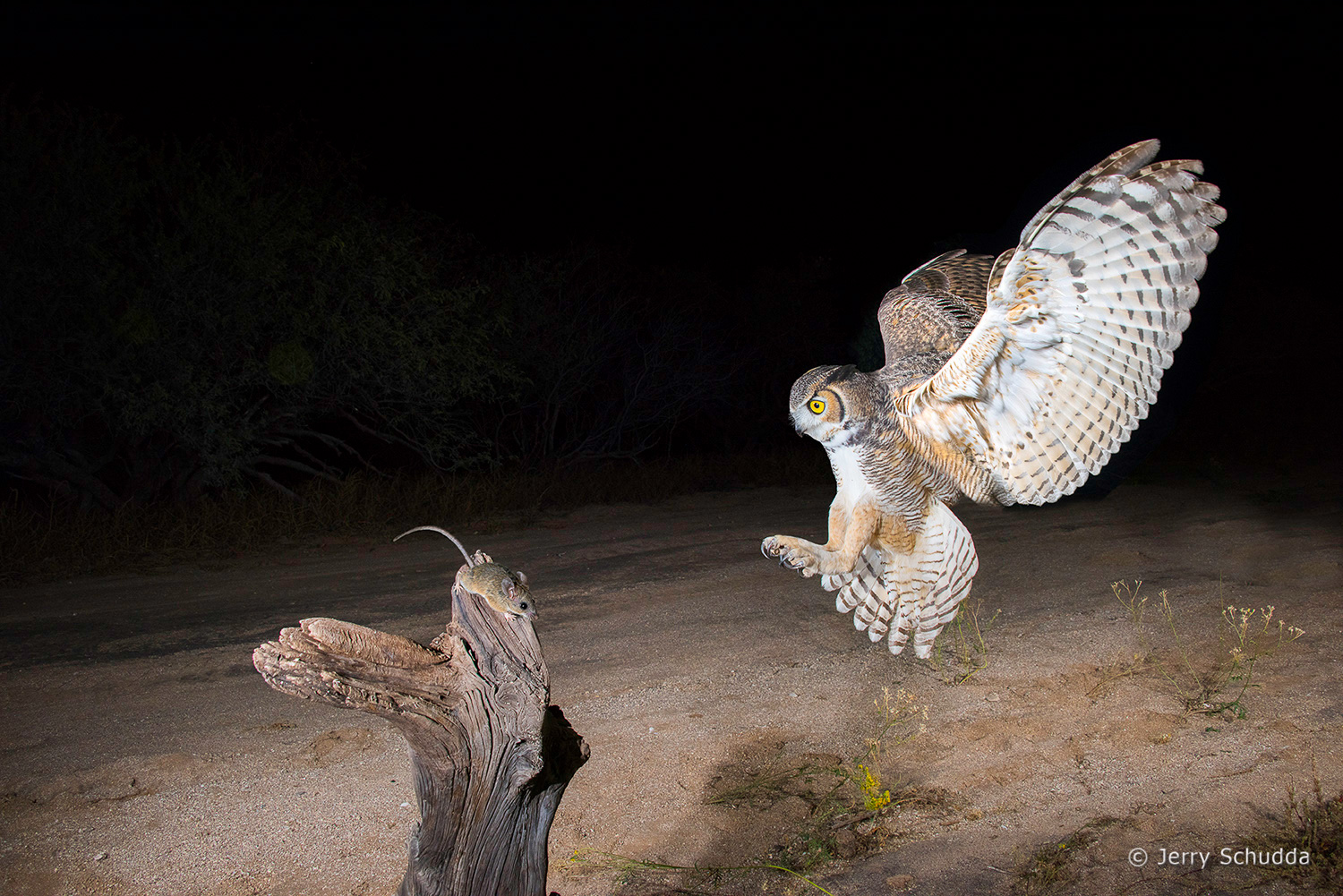 Great Horned Owl 21