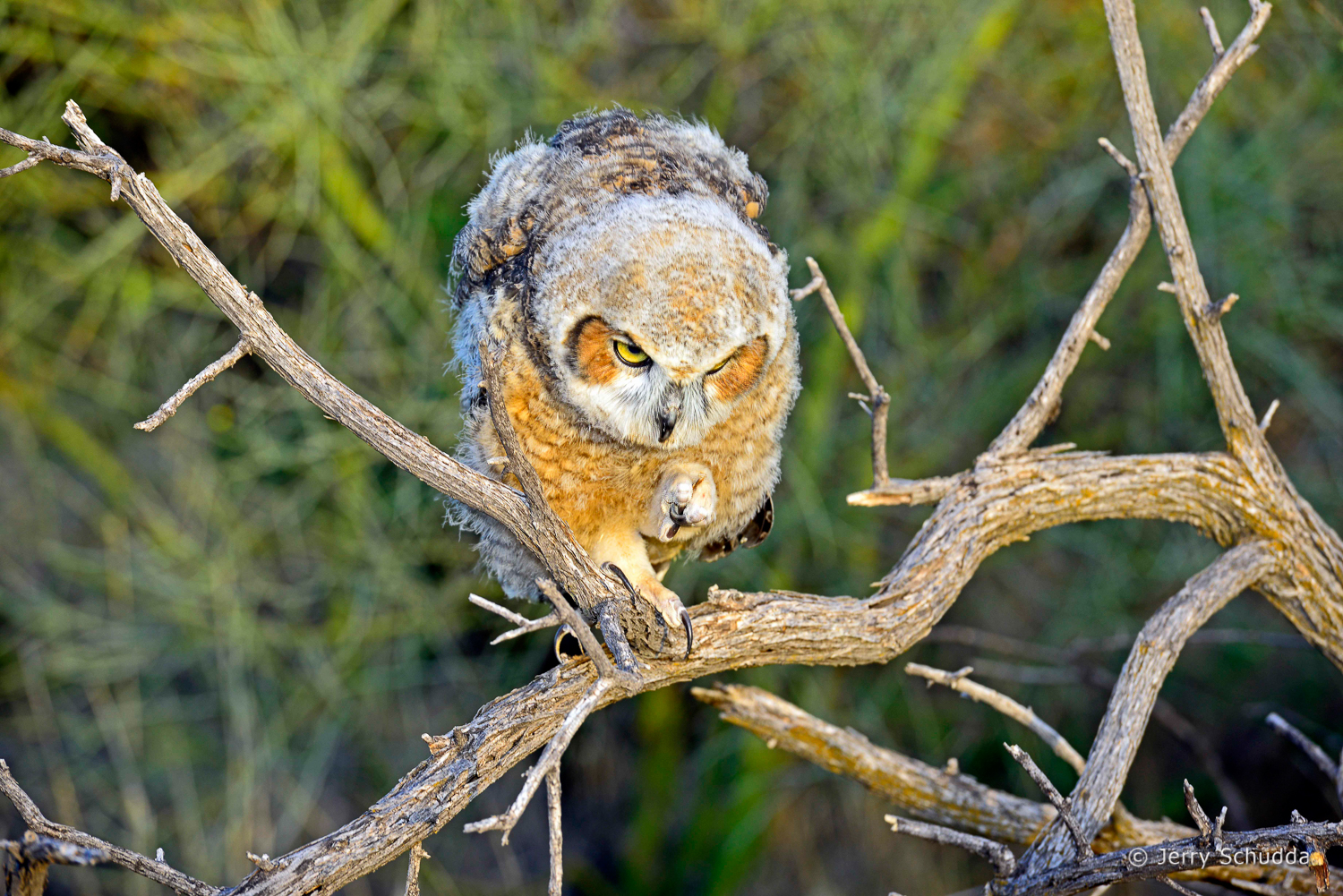 Great Horned Owl 25