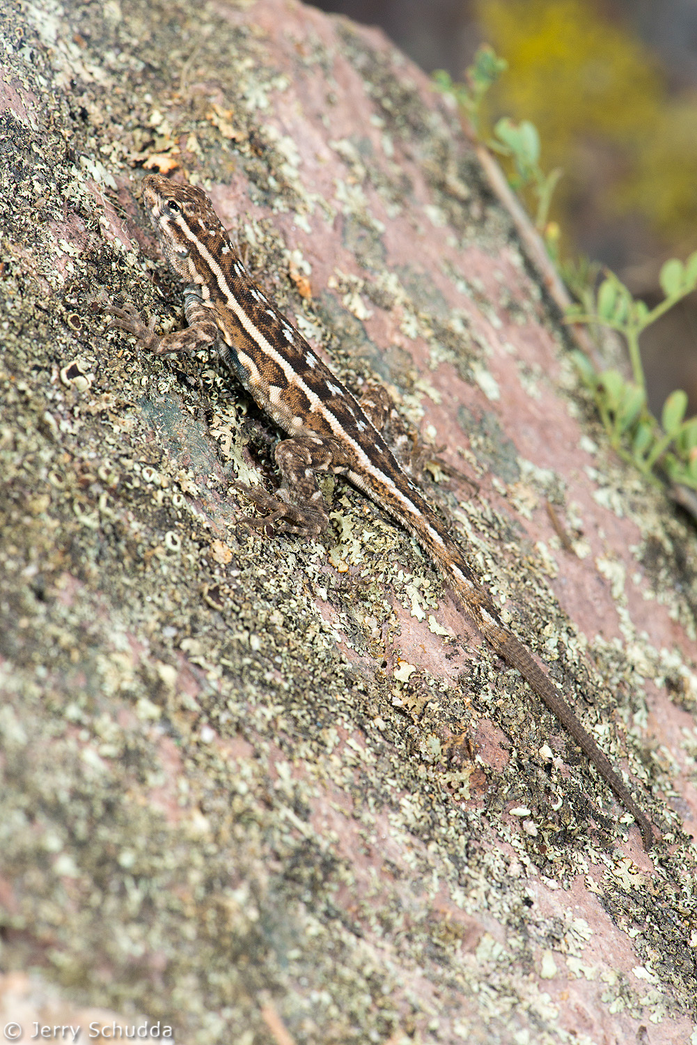 Common Side-blotched Lizard 1