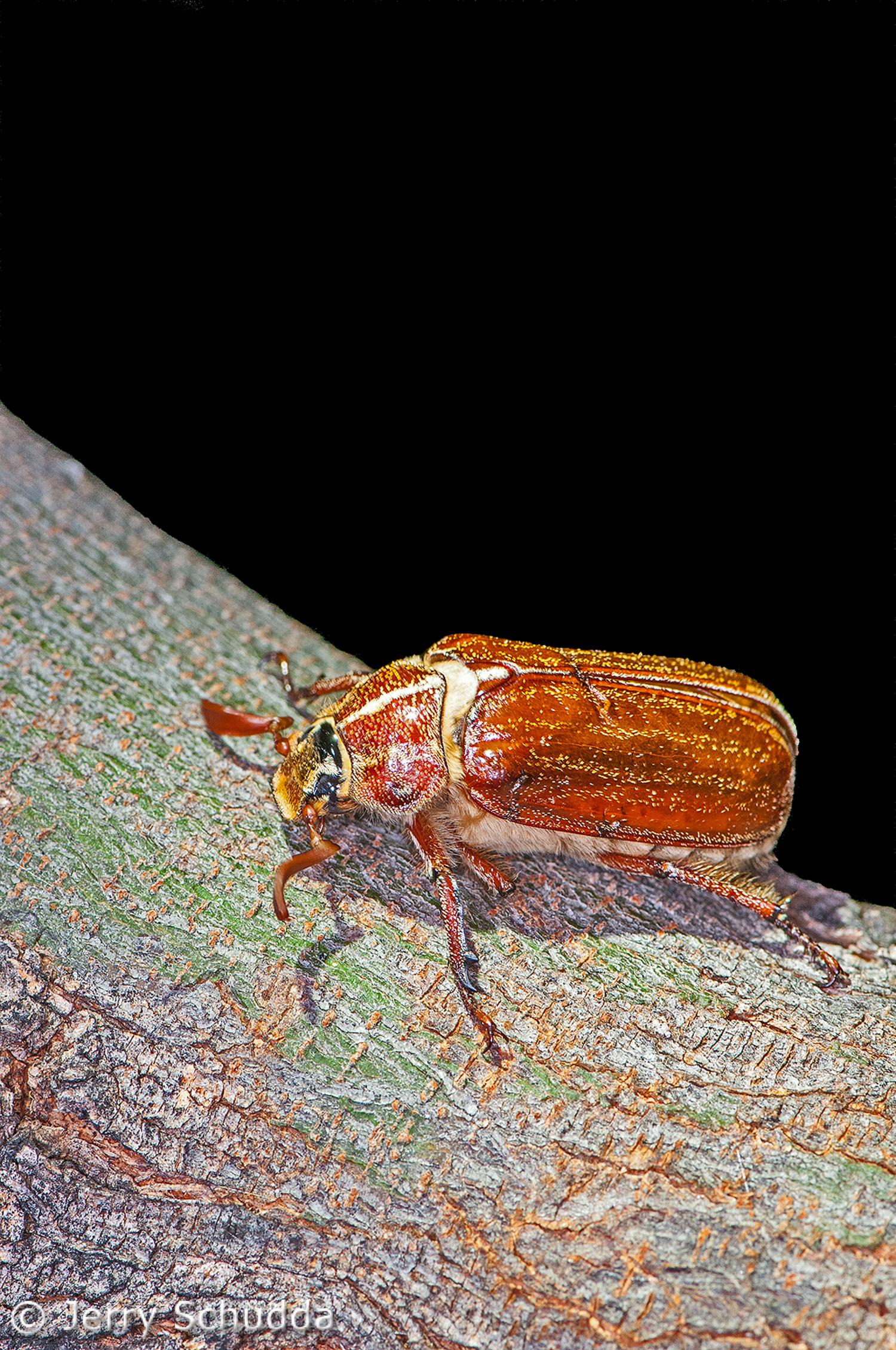 Beetle-Scarab 2