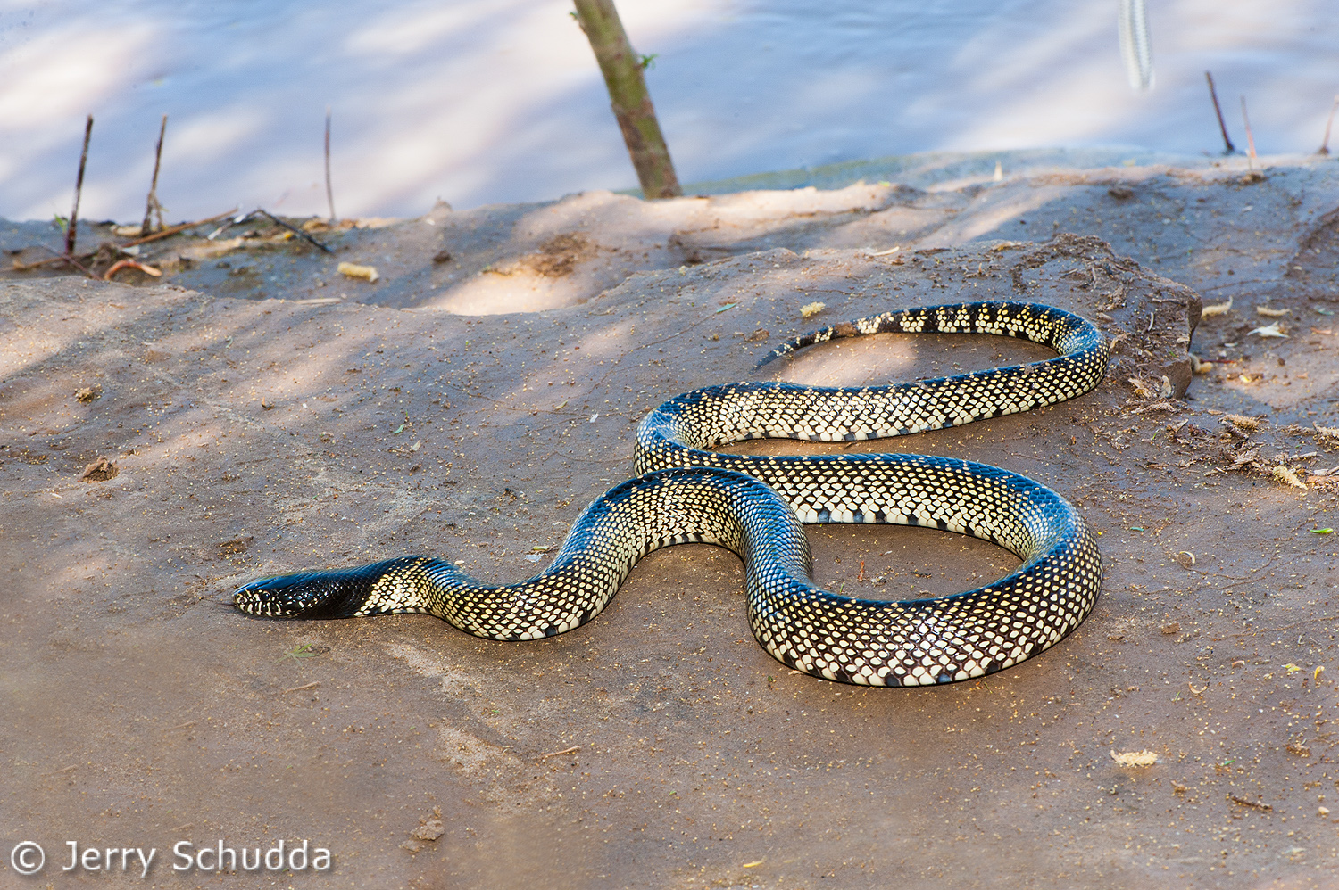 Common Kingsnake 13