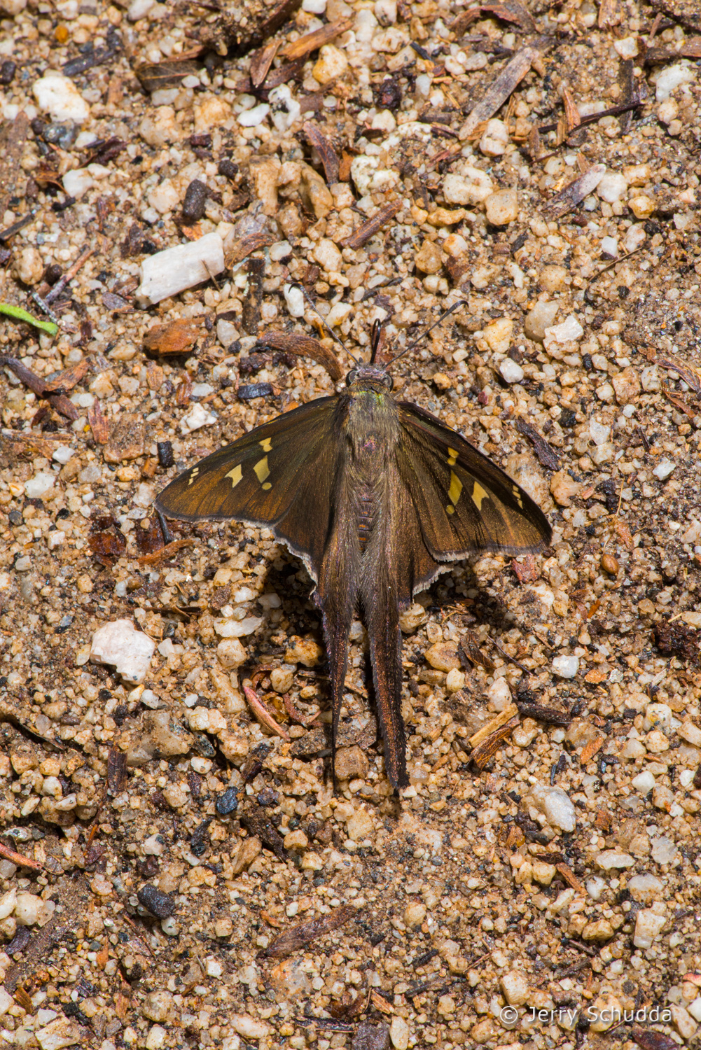 White-striped Longtail 2