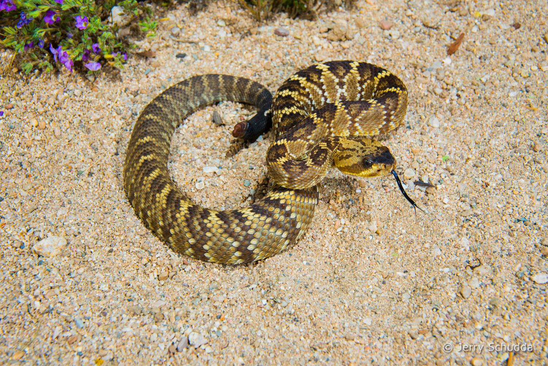 Black-tailed Rattlesnake 16