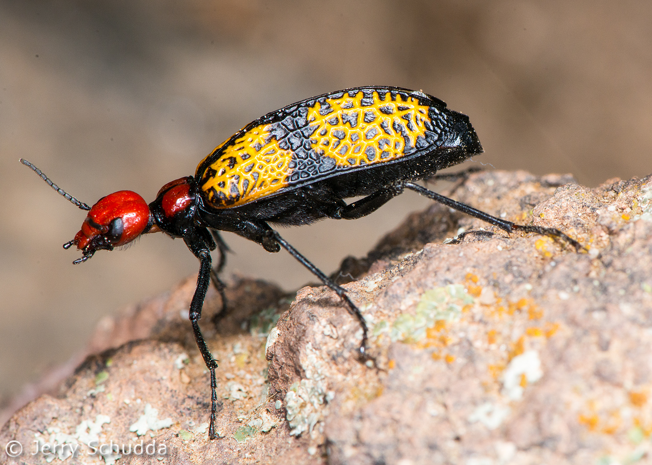 Iron - Cross Blister Beetle