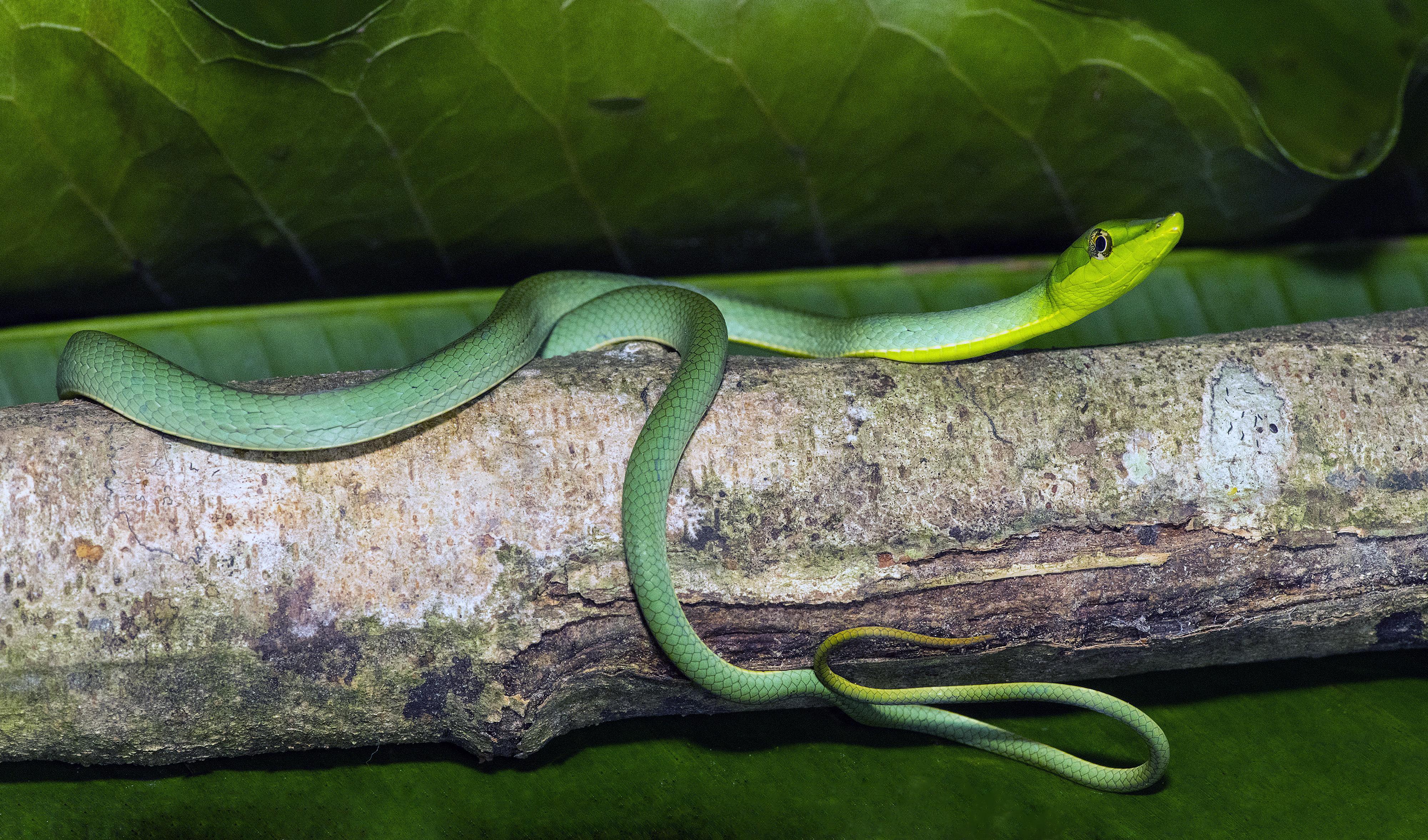 Green Vine Snake-Peru