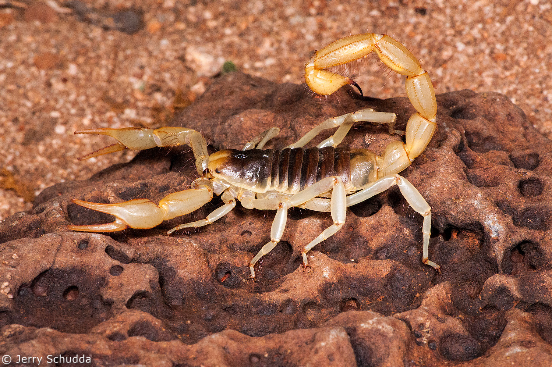 Giant Desert Hairy Scorpion 1