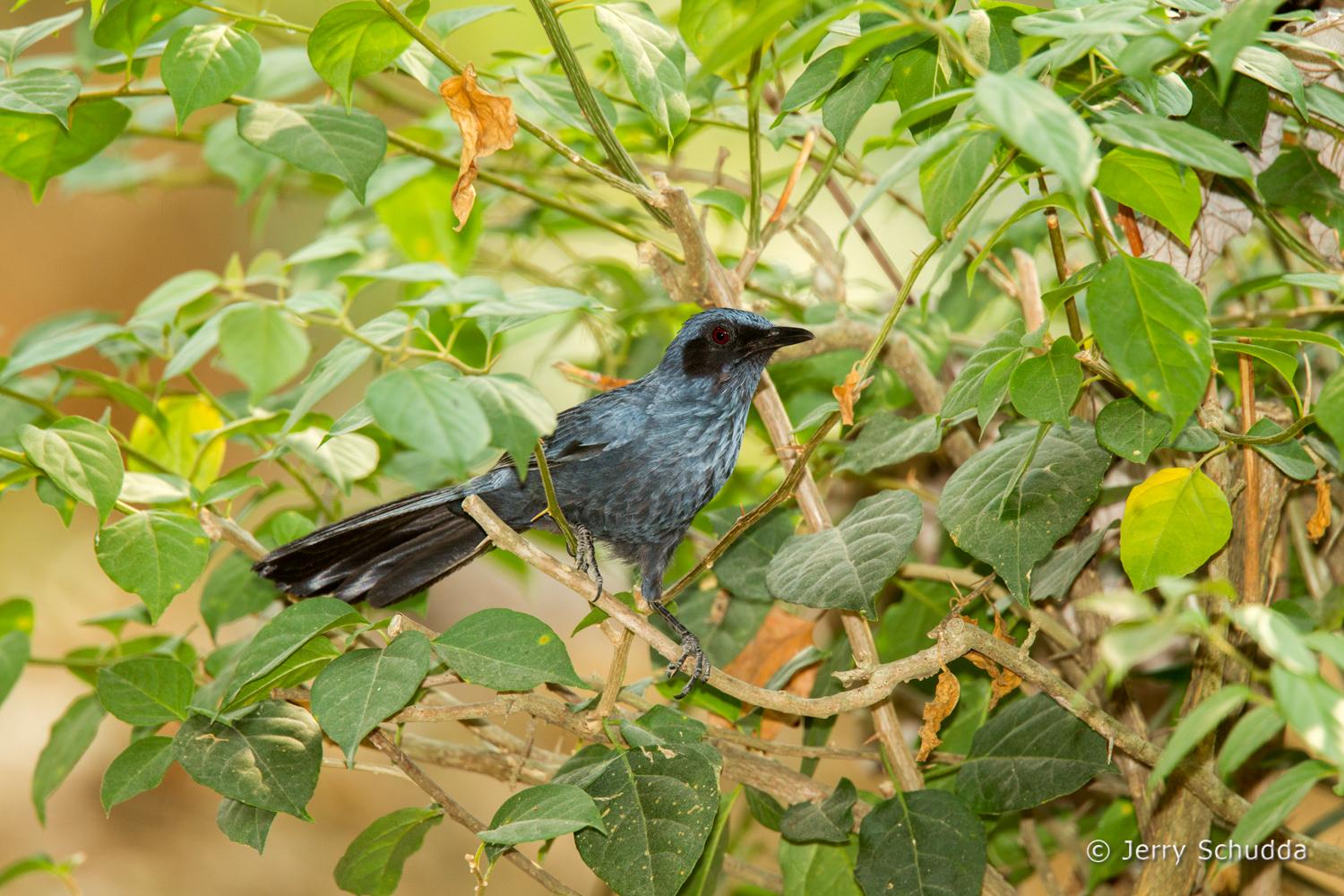 Blue Mockingbird 1