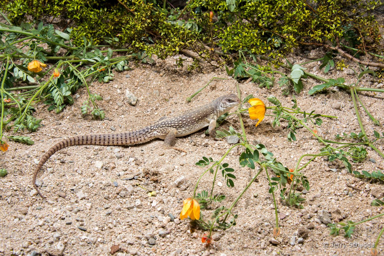 Desert Iguana 5