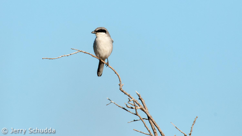 Loggerhead Shrike 1