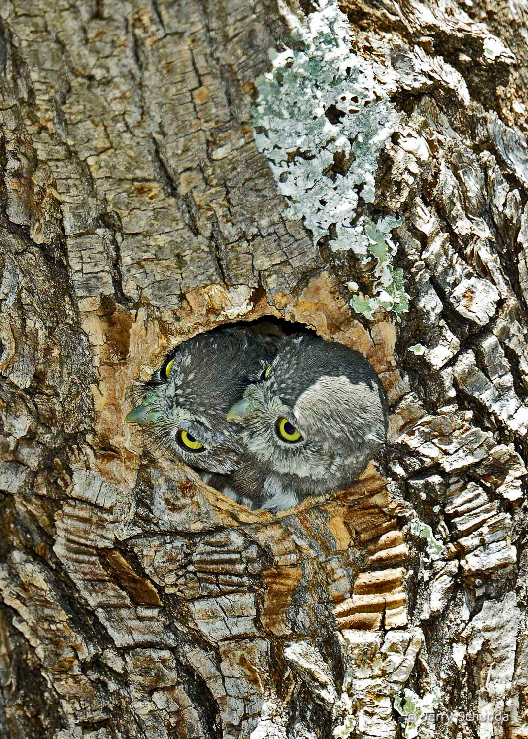 Northern Pygmy Owls 5