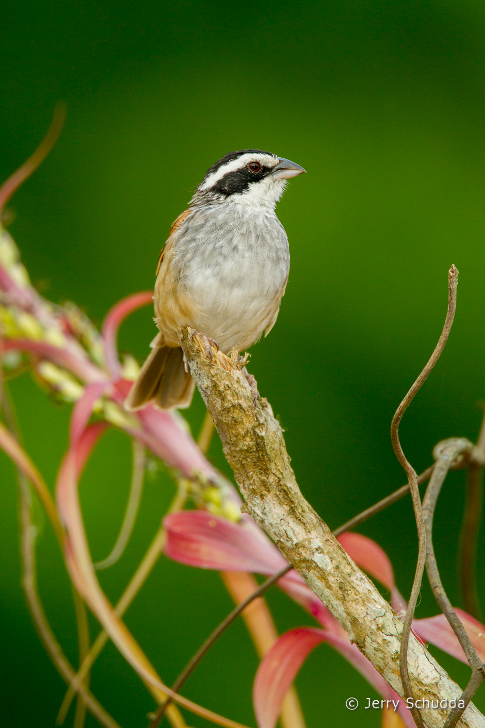 Stripe-headed Sparrow 5