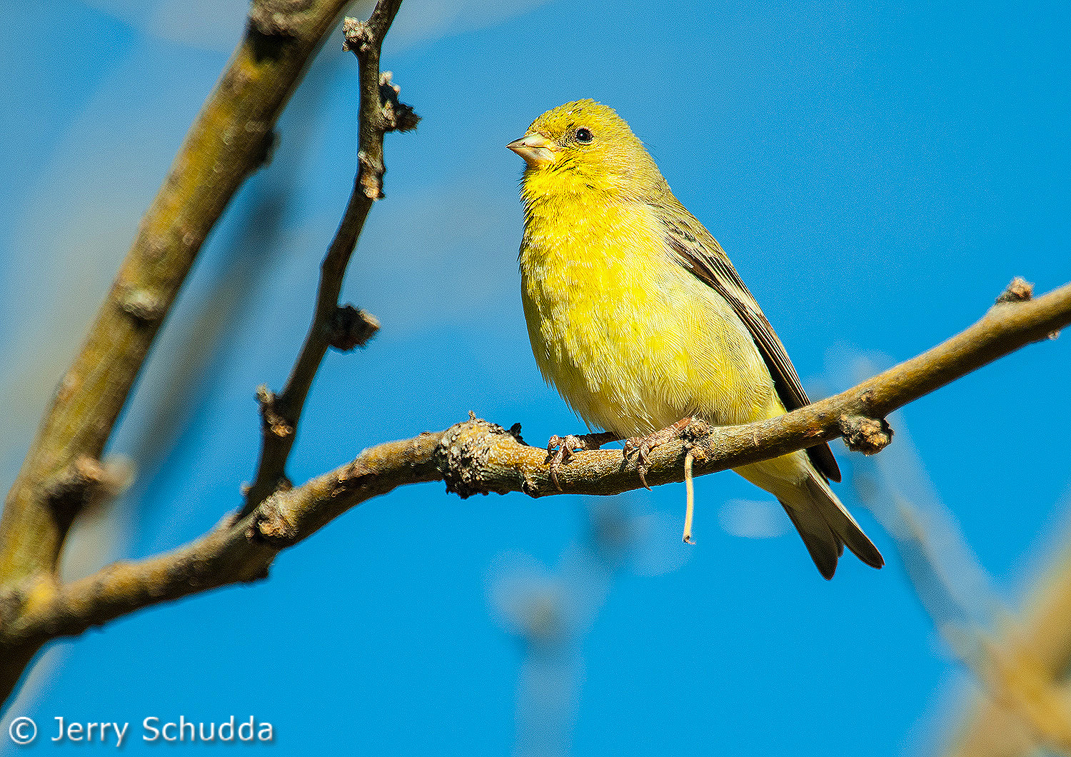 Lesser Goldfinch female 1