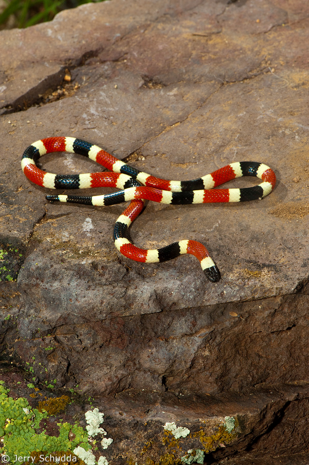 Sonoran Coralsnake 2