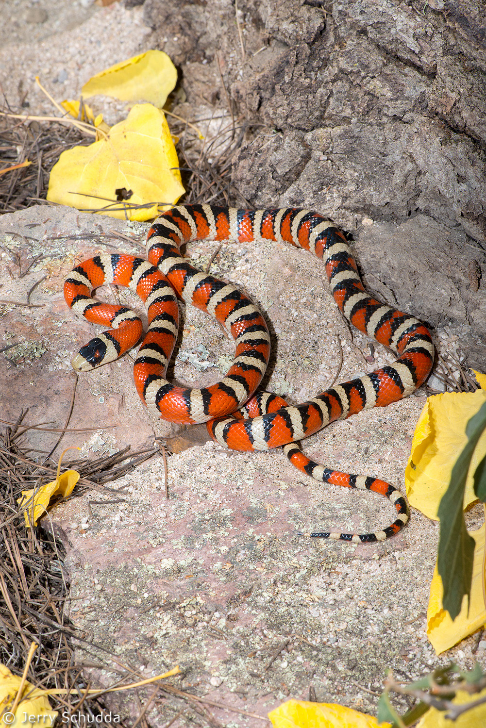 Sonoran Mountain Kingsnake 4