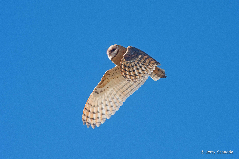 Barn Owl - juvenile 7