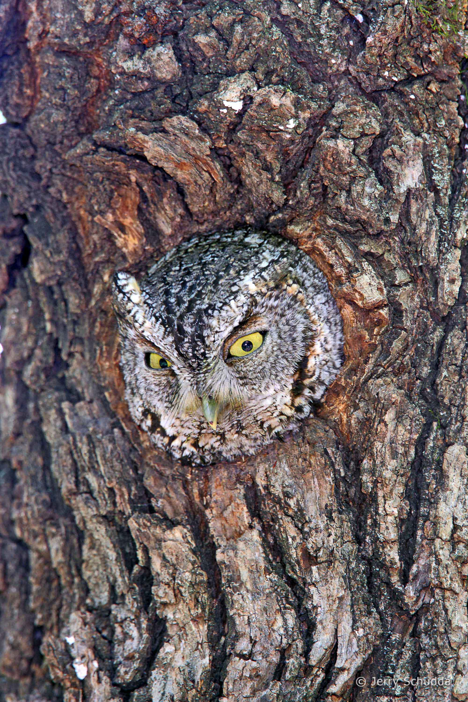 Whiskered Screech Owl  1