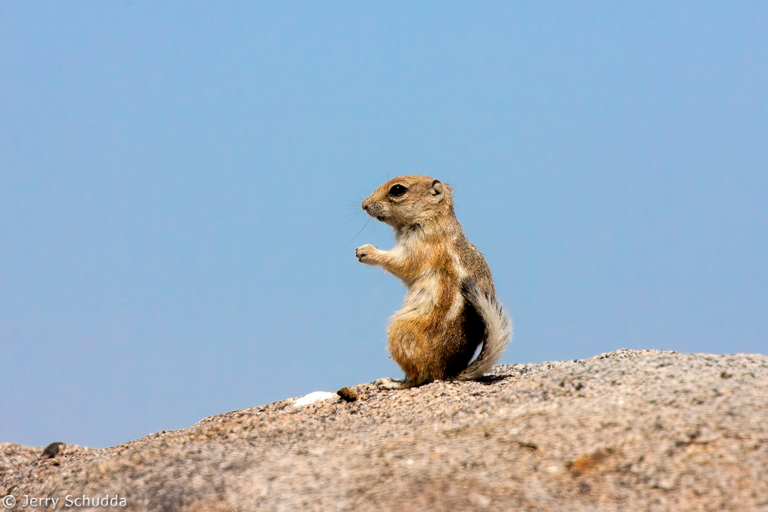White-tailed Antelope Squirrel 1