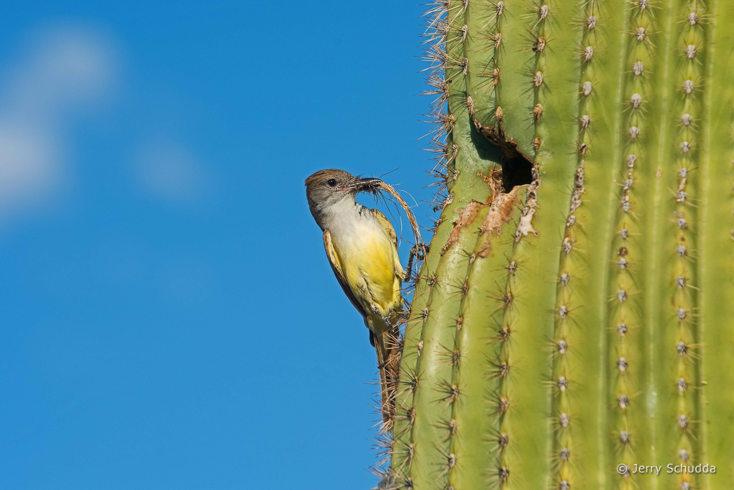 Ash-throated Flycatcher 4