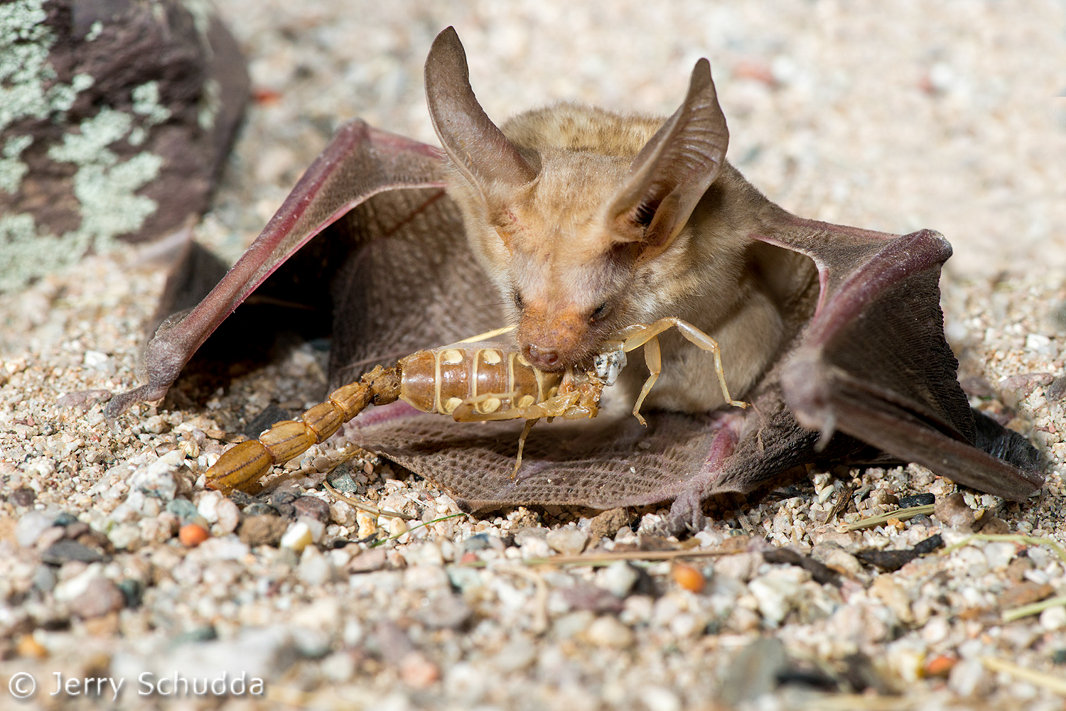 Pallid Bat feeding on Devil Scorpion 5