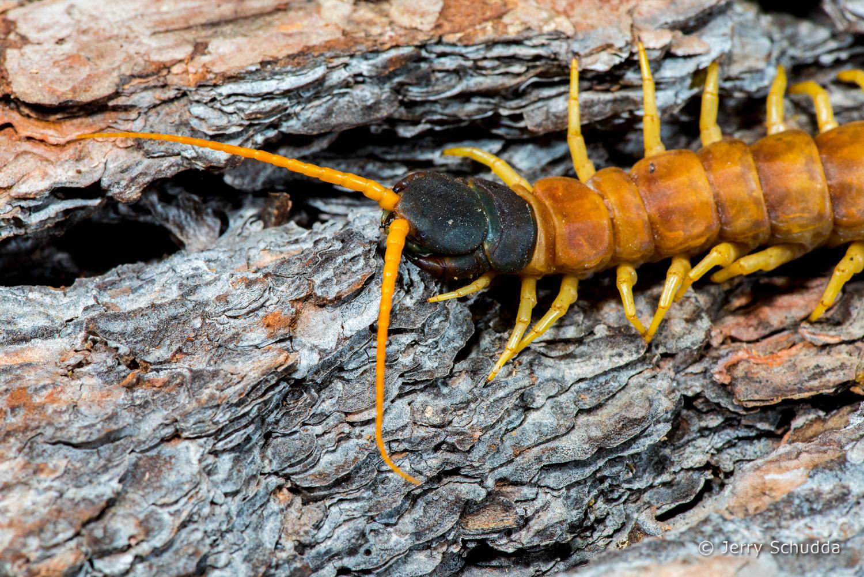 Giant Desert Centipede 4