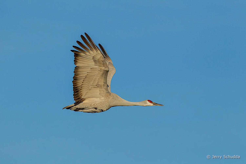 Sandhill Crane 3