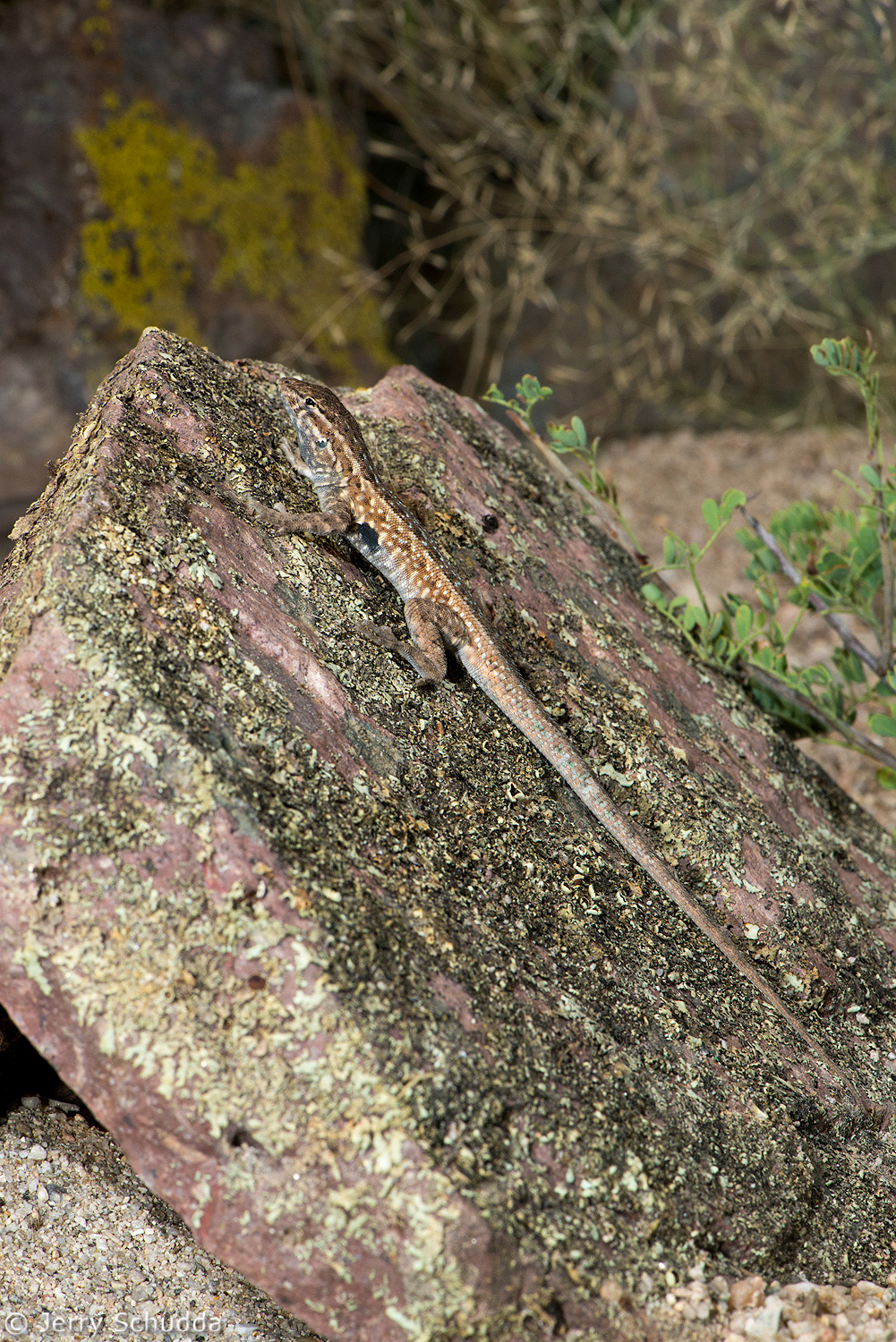 Common Side-blotched Lizard 2
