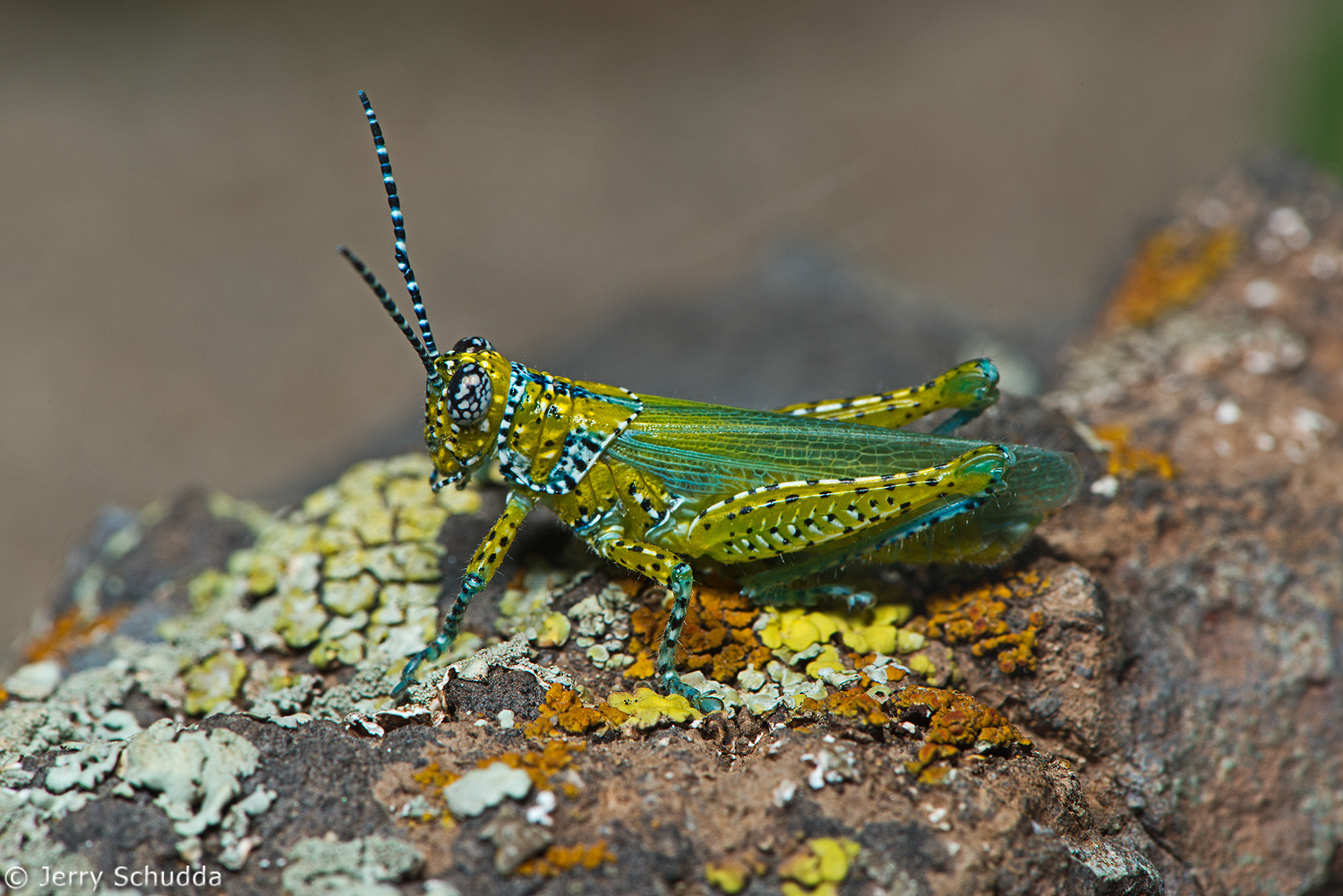Panther-spotted Grasshopper 1