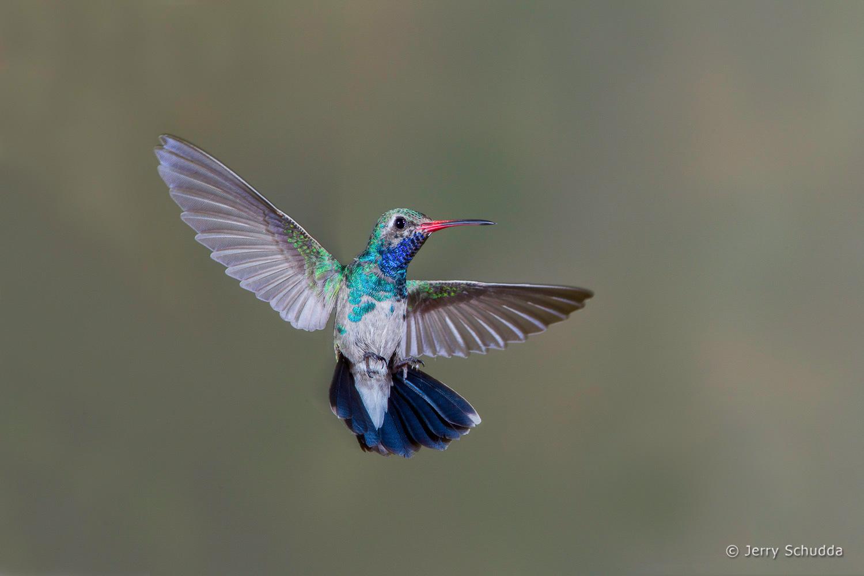 Broad-billed Hummingbird 1