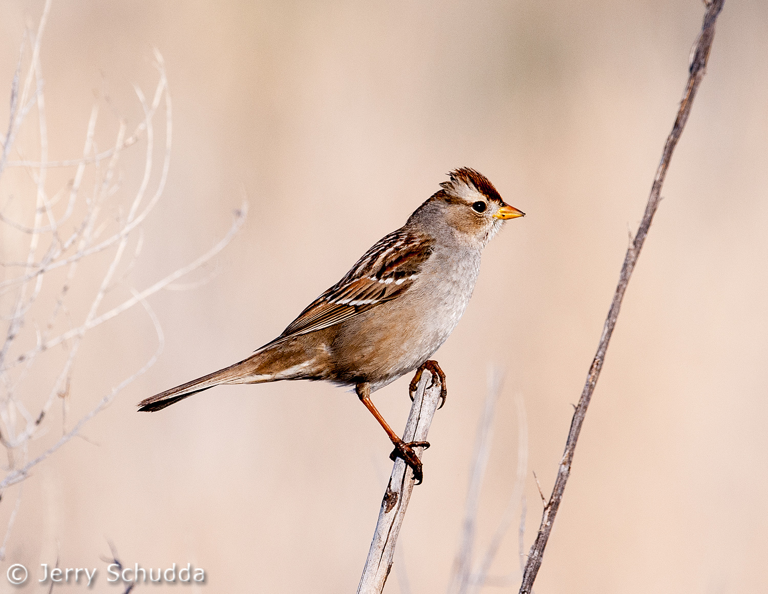 White-crowned Sparrow immature 1