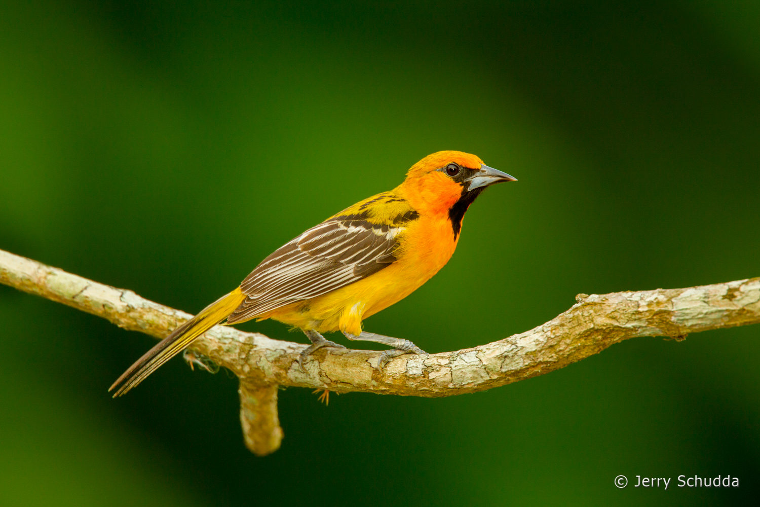 Streak-backed Oriole 2