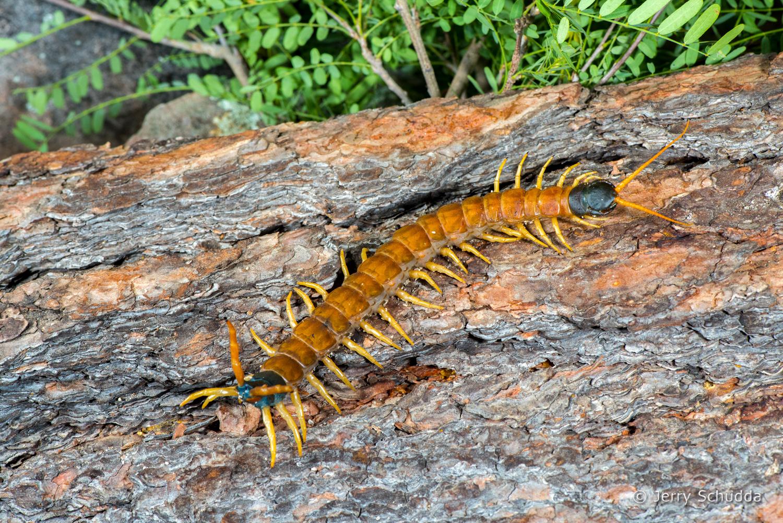 Giant Desert Centipede 3