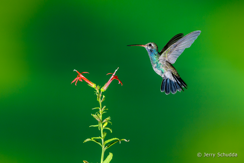 Broad-billed Hummingbird  7