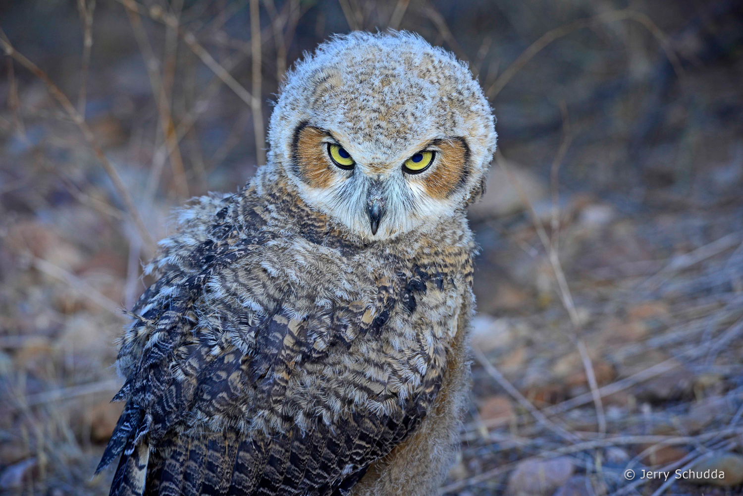 Great Horned Owl 24