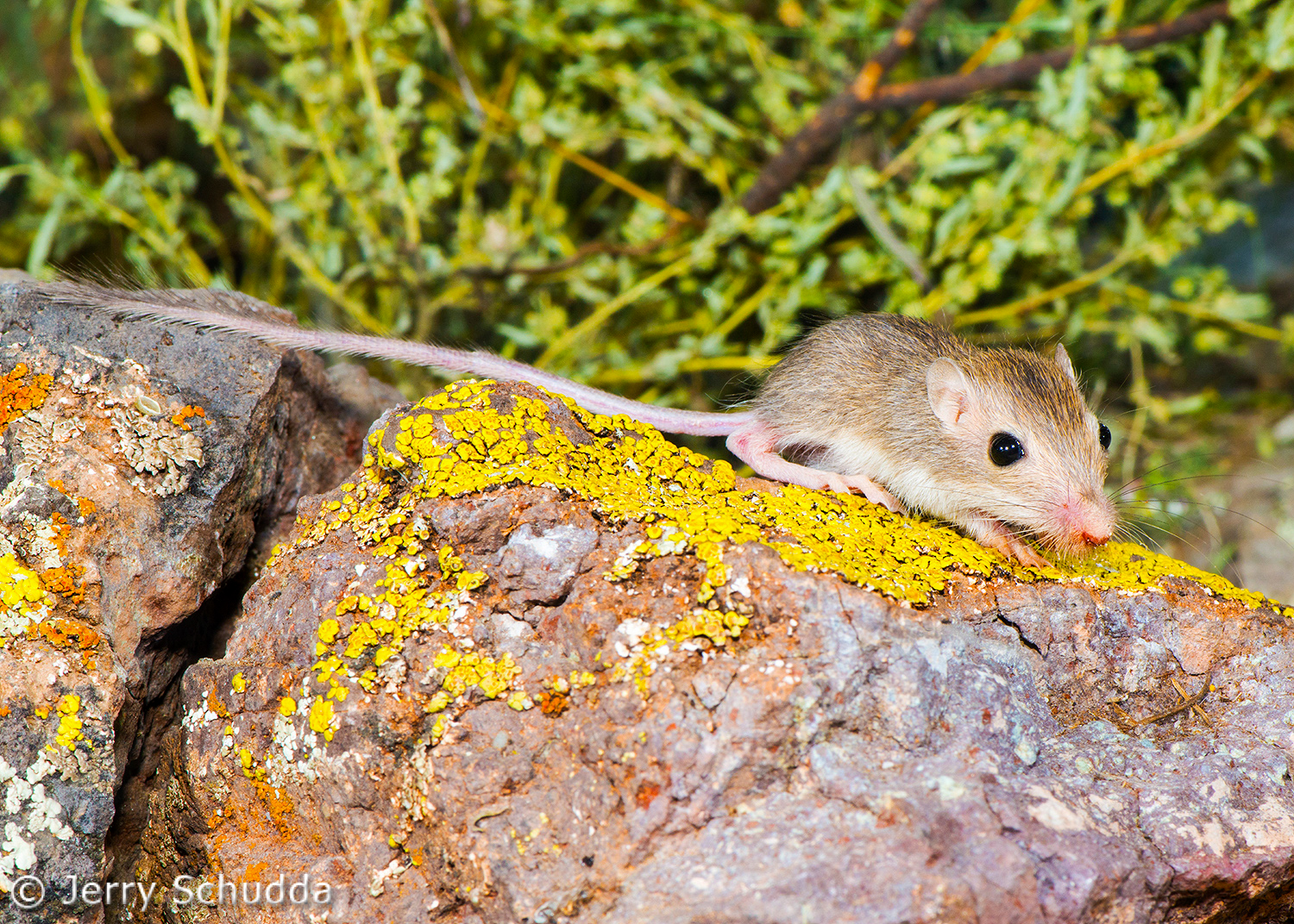 Rock Pocket mouse juv 1