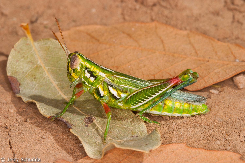 Snakeweed Grasshopper 1