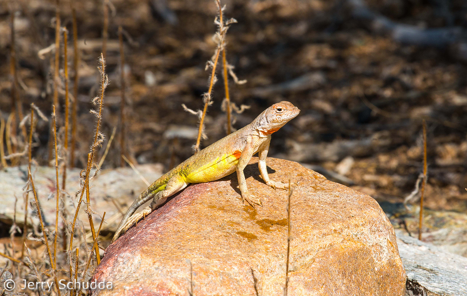 Lesser Earless Lizard 2
