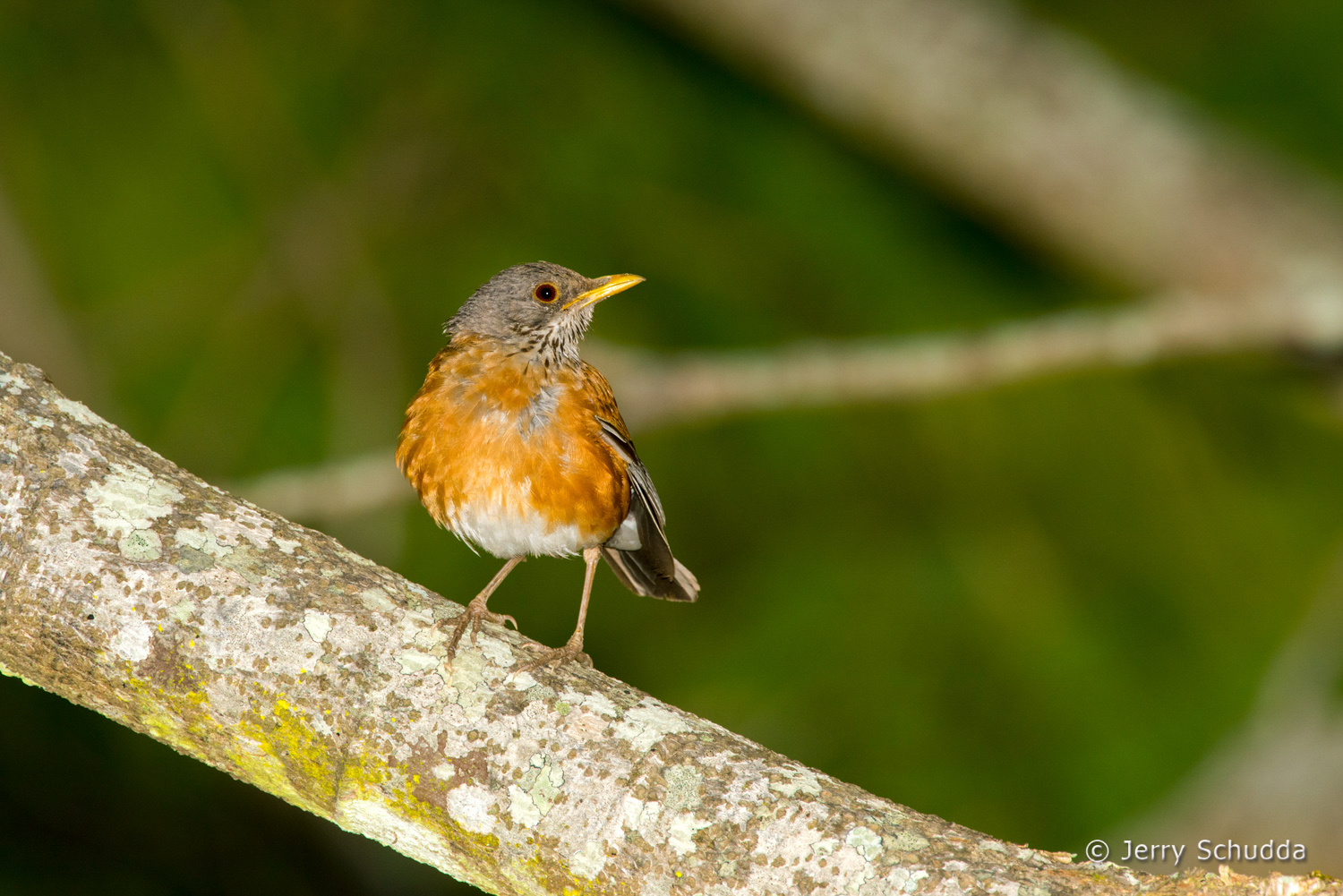 Rufous-backed Robin 2